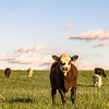 Stocker cattle in rye grass pasture - vertical