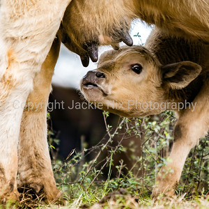 Commercial calf under its mother's belly