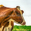 Red and White Holstein