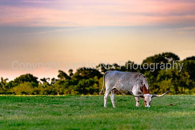 longhorn cow at sunset