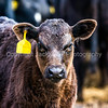 Black Angus calf with yellow ear tag