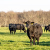 Angus cows in green rye grass pasture - square
