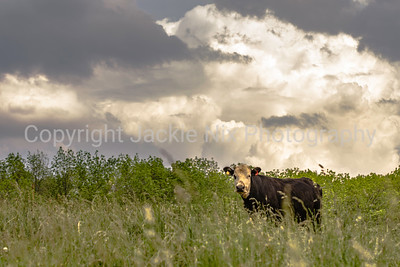 Cow on a hill with cumulus clouds