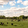Country panorama of cattle in lush pasture