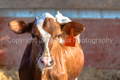 Red and white Holstein heifer