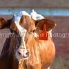 Red and white Holstein heifer