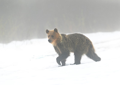 Juvenile brown bear
