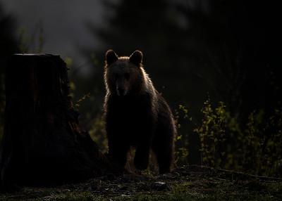 Female brown bear at dawn