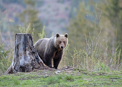 Feamle Brown bear