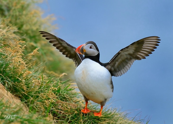 Puffin Wings