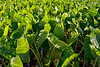 Taro Plants - Kauai, HI
