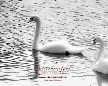 The grace of a white swan is just something else. 1/6400 sec at f/2.8, ISO 100, 200mm
