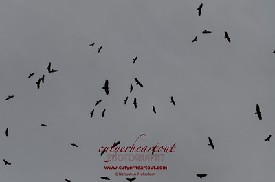Vultures Are Circling