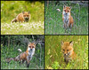 "<div class=""jaDesc""> <h4> Red Fox Collage</h4> </div>"