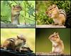 "<div class=""jaDesc""> <h4> Chipmunk Collage</h4> </div>"