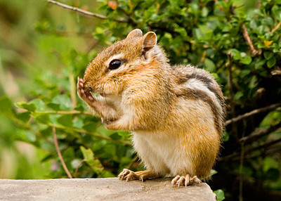 """<div class=""""jaDesc""""> <h4> Chipmunk with One Paw on Nose</h4> </div>"""