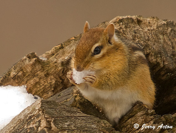"<div class=""jaDesc""> <h4> Chipmunk Eating Snow Chunk</h4> </div>"