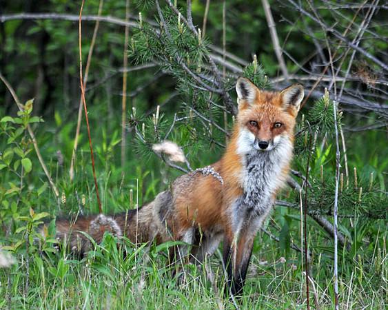 "<div class=""jaDesc""> <h4> Adult Red Fox at Woods Edge</h4> </div>"