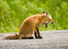"<div class=""jaDesc""> <h4> Young Red Fox Yawning</h4> </div>"