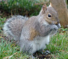 "<div class=""jaDesc""> <h4> Gray Squirrel Eating Seeds</h4> </div>"
