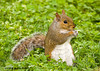 "<div class=""jaDesc""> <h4> Gray Squirrel Sitting in Grass</h4> </div>"