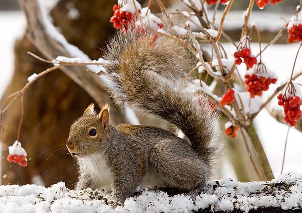 "<div class=""jaDesc""> <h4> Gray Squirrel Looking Frisky</h4> </div>"