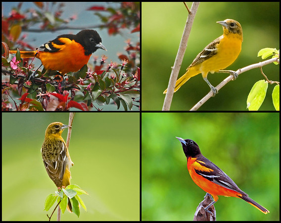 """<div class=""""jaDesc""""> <h4> Male and Female Orioles Collage </h4> <P> <p> </div>"""