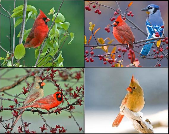 "<div class=""jaDesc""> <h4> Four Seasons Cardinal Collage </h4> <P> <p> </div>"
