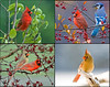 "<div class=""jaDesc""> <h4> Four Seasons Cardinal Collage </h4> <P> <p> </div>"
