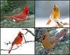 "<div class=""jaDesc""> <h4> Cardinal Collage </h4> <P> Male and Female Cardinals<p> </div>"