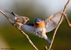 """<div class=""""jaDesc""""> <h4> Male Bluebird Arriving with Mealworms</h4> </div>"""