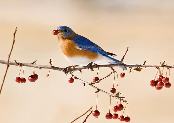 """<div class=""""jaDesc""""> <h4> Male Bluebird with Crabapple</h4> </div>"""