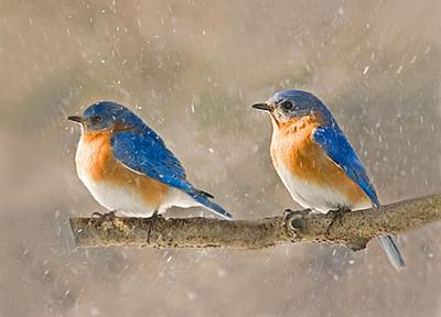 "<div class=""jaDesc""> <h4> Bluebirds in Snow Squall</h4> </div>"
