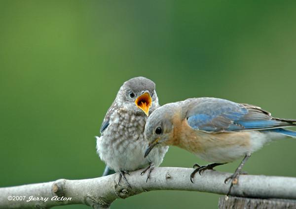 """<div class=""""jaDesc""""> <h4> Baby Bluebird Begging</h4> </div>"""