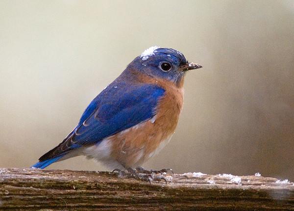 "<div class=""jaDesc""> <h4> Male Bluebird with Snowflake Cap </h4> </div>"