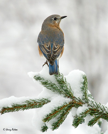 """<div class=""""jaDesc""""> <h4> Female Bluebird on Snowy Evergreen Branch </h4> </div>"""