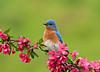 "<div class=""jaDesc""> <h4> Male Bluebird on Blooming Crabapple Branch </h4> </div>"
