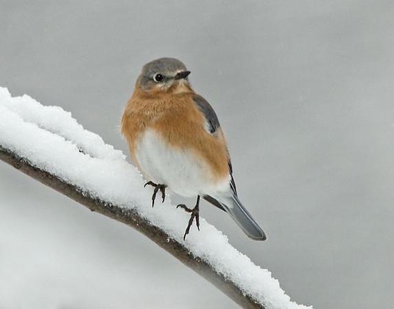 "<div class=""jaDesc""> <h4> Female Bluebird on Snowy Limb</h4> </div>"