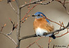 "<div class=""jaDesc""> <h4> Male Bluebird in Budding Serviceberry Tree</h4> </div>"
