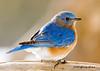 "<div class=""jaDesc""> <h4> Male Bluebird in Morning Sun</h4> </div>"