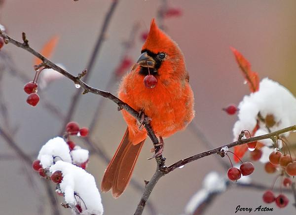"""<div class=""""jaDesc""""> <h4> Juvenile Cardinal with Crabapple</h4> </div>"""