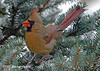 "<div class=""jaDesc""> <h4> Female Cardinal in Blue Spruce Tree</h4> </div>"