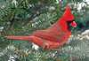 "<div class=""jaDesc""> <h4> Male Cardinal in Blue Spruce Tree </h4> </div>"