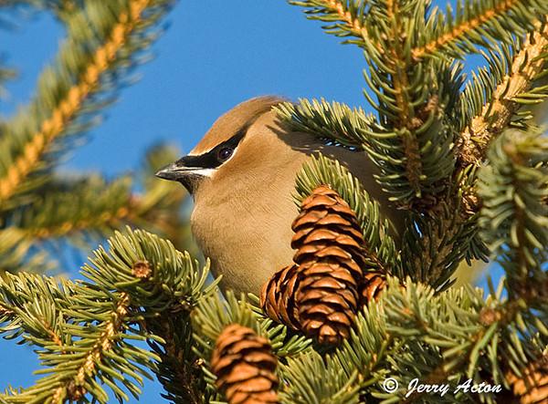 "<div class=""jaDesc""> <h4> Cedar Waxwing in Spruce Tree </h4> </div>"
