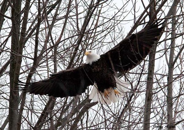 "<div class=""jaDesc""> <h4> Bald Eagle Flying Through Trees</h4> </div>"
