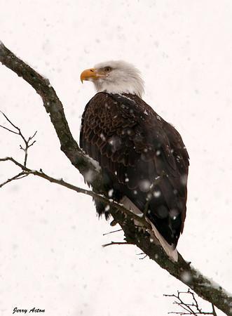 "<div class=""jaDesc""> <h4> Bald Eagle in Snow Storm</h4> </div>"