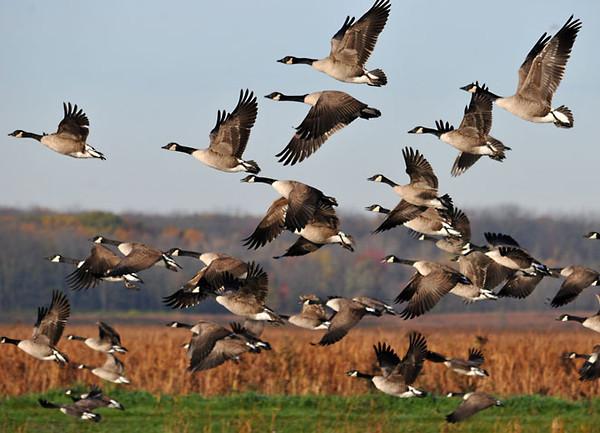 """<div class=""""jaDesc""""> <h4> Canada Geese Heading South</h4> </div>"""
