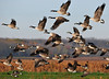 "<div class=""jaDesc""> <h4> Canada Geese Heading South</h4> </div>"