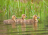 "<div class=""jaDesc""> <h4> Canada Goslings in Pond</h4> </div>"
