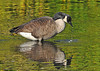"<div class=""jaDesc""> <h4> Canada Goose Getting Drink</h4> </div>"